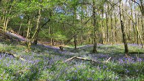 Bluebells of Brunt How Royalty Free Stock Photography
