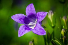 Bluebells, Campanula Stock Photos