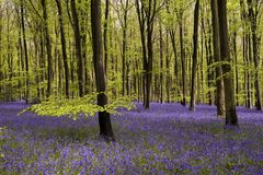 Bluebells carpet Stock Photography