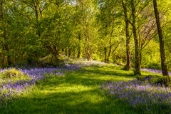 Bluebells Stock Images