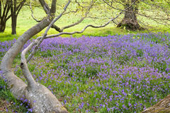 Bluebells carpet the ground in this mature open woodland Stock Image