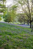Bluebells carpet the ground in this open woodland Stock Images