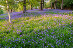 Bluebells carpet the ground in this open woodland Royalty Free Stock Photos