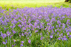 Bluebells carpet the ground in an open woodland Royalty Free Stock Photography