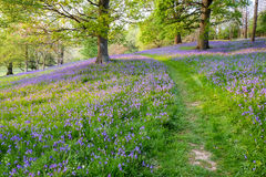 Bluebells carpet the ground in this open woodland Stock Image