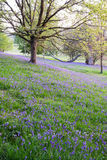 Bluebells carpet the ground in this open woodland Royalty Free Stock Photo