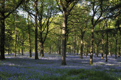 Bluebells carpet Oak Woodland floor Stock Images