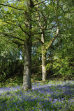 Bluebells carpet Oak Woodland floor Stock Photography