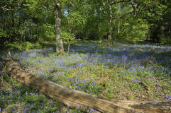 Bluebells carpet Oak Woodland floor Stock Photos