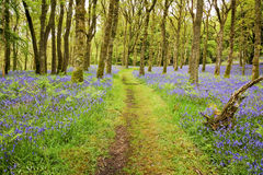 Bluebells Carpet and Path. Footpath through the middle of a carpet of Bluebells in carstramon wood near gatehouse of fleet, Dumfries and Galloway Royalty Free Stock Photos