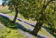 Bluebells carpeting a field in Yorkshire Dales. Bluebells, a member of the hyacinth family, carpeting a field in Swaledale in the Yorkshire Dales National Park Stock Photography