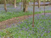 Bluebells carpeting woodland in early spring. Masses of bluebells on the forest floor at Hagg Wood, near Dunnington, Yorkshire stock photo