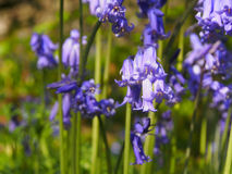 Bluebells Stock Photography