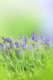 Bluebells close up. Shallow depth of field Royalty Free Stock Photography