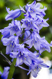 Bluebells. Close up detail of bluebells Royalty Free Stock Image