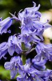 Bluebells. Close up detail of bluebell flowers Stock Photos