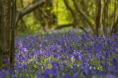 Bluebells close up in the forest Royalty Free Stock Image