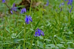 Bluebells close up, selective focus - Hyacinthoides non-scripta Stock Photos