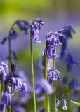 Bluebells close-up Stock Images