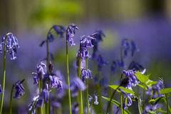 Bluebells close-up Royalty Free Stock Images