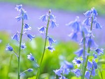 Bluebells Royalty Free Stock Photo