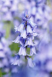 Bluebells closeup Royalty Free Stock Image