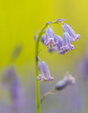 Bluebells. Closeup on a spring morning royalty free stock photography