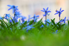Bluebells. Cluster of little blue flowers with a bug Stock Photo