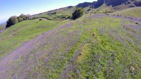 Bluebells Co Antrim Northern Ireland. Beautiful Bluebells Co Antrim on Sallagh Hills in Northern Ireland stock images