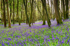 Bluebells in Cornwall. A carpet of bluebells in woodland near Redruth in the Cornish countryside royalty free stock image