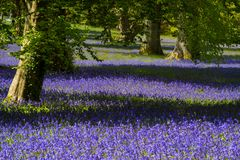 Bluebells in Cornwall stock image