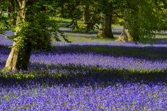 Bluebells in Cornwall. Field of bluebells near Penryn, in Cornwall Stock Image
