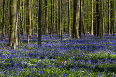 Bluebells cover in  Tranendal (Teardrop Valley) in Hallerbos, Belgium Royalty Free Stock Image