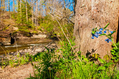 Bluebells by creek Stock Image