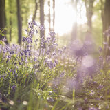 Bluebells. Dandelion in the bluebells in a field in a forest in the summer in the sun Royalty Free Stock Photo