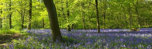 Bluebells dans la forêt Photos stock