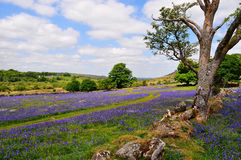 bluebells dartmoor Obrazy Royalty Free