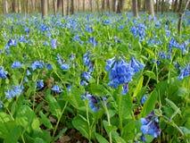 Bluebells de Virginia Foto de archivo libre de regalías