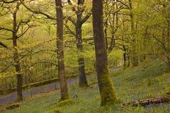 Bluebells del distretto del lago Fotografie Stock