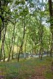 Bluebells del resorte en maderas Sunlit Fotografía de archivo