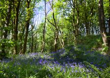 Bluebells at springtime. Bluebells in a dell Cheshire England at springtime Royalty Free Stock Images