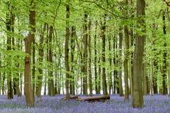 Bluebells della foresta di Ashridge fotografie stock