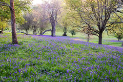Bluebells densely carpet the ground in this open woodland Royalty Free Stock Photos