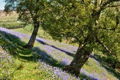 Bluebells, die ein Feld in den Yorkshire-Tälern mit Teppich auslegen Stockfotografie