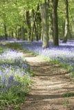 Bluebells, die im Waldland wachsen Lizenzfreie Stockbilder