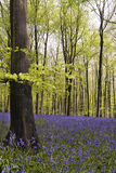 bluebells drewniani Obrazy Royalty Free