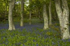bluebells dunrobin δάσος στοκ φωτογραφίες