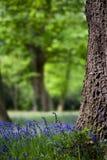 Bluebells ed alberi di quercia in primavera Fotografia Stock