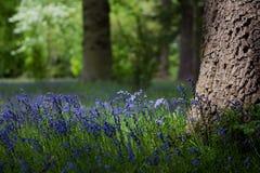 Bluebells ed alberi di quercia in primavera Immagine Stock