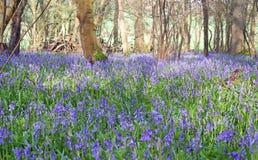 Bluebells em uma madeira Foto de Stock Royalty Free
